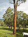 Eucalyptus caliginosa.JPG