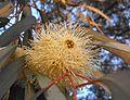 Eucalyptus globosus 1 Sousse 2009.jpg