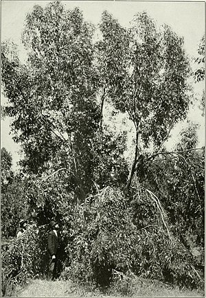 """Eucalyptus occidentalis - Image: Eucalyptus occidentalis from """"Eucalypts cultivated in the United States"""" (1902) (14596637437)"""