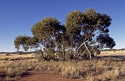 Eucalyptus sparsa.jpg