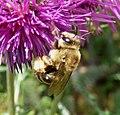 Eucera sp. - Flickr - gailhampshire.jpg