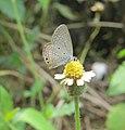 Euchrysops cnejus - Gram Blue 02.jpg