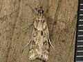 Eudonia angustea (8720977292).jpg