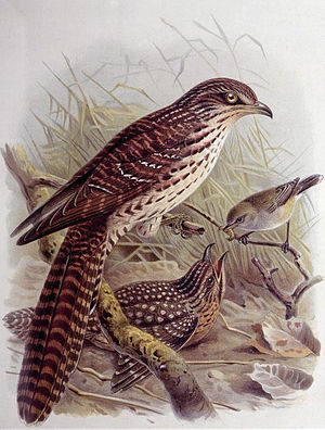 Pacific long-tailed cuckoo - Image: Eudynamistaitensis