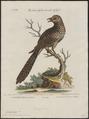 Eudynamys horonata - 1700-1880 - Print - Iconographia Zoologica - Special Collections University of Amsterdam - UBA01 IZ18800315.tif