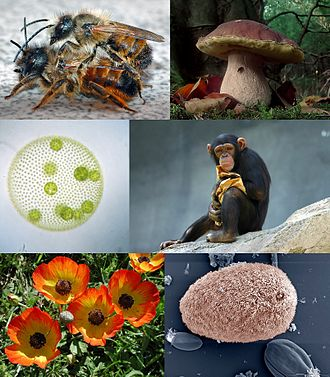 Eukaryote - Eukaryotes and some examples of their diversity – clockwise from top left: Red mason bee, Boletus edulis, chimpanzee, Isotricha intestinalis, Ranunculus asiaticus, and Volvox carteri
