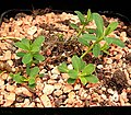 Euphorbia caespitosa.jpg