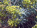 Euphorbia dendroides Plant Caracuel CampodeCalatrava.jpg