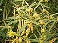Euphorbia lamarckii (El Paso) 02.jpg