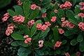 Euphorbia milii A.jpg