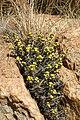 Euphorbia schinzii01.jpg