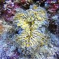 Euphyllia glabrescens at Kapoposang Island.jpg