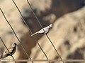 Eurasian Collared Dove (Streptopelia decaocto) (39638225791).jpg