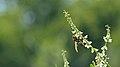 European Paper Wasp (Polistes dominula) - Guelph, Ontario 2016-08-27.jpg