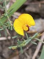 Eutaxia microphylla flower.jpg