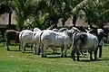 ExpoBrahman Portobello (5488355635).jpg