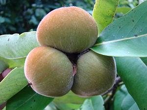 English: Velvet Apple aka Mabolo display at th...