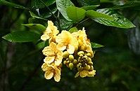 Fabaceae (Senna latifolia) (39897406122).jpg