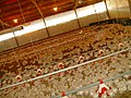 Factory farming of poultry for meat in Kfar Yehoshua, Israel.jpg