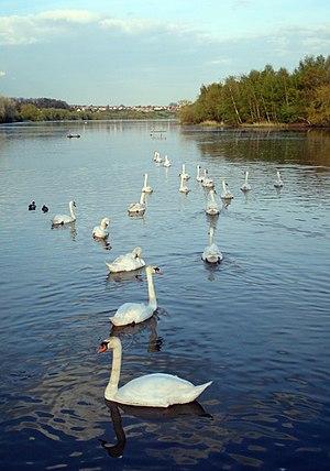 Fairburn Ings RSPB reserve - Flotilla of mute swans with Fairburn village on the horizon