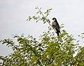 Falcao de coleira no Pantanal.jpg