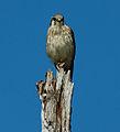 Falco sparverius Florida Keys.jpg
