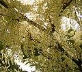 Fallopia japonica 12 ies.jpg