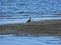 Far Eastern curlew tidal strand Sandgate Bramble Bay Queensland P1100843.jpg