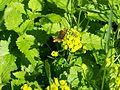 Farfalla su euforbia.JPG