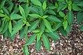 Farges Clethra Clethra fargesii Foliage 3008px.jpg