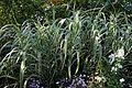 Feeringbury Manor ornamental grass, Feering Essex England.jpg