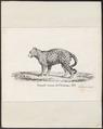Felis mitis - 1825 - Print - Iconographia Zoologica - Special Collections University of Amsterdam - UBA01 IZ22100182.tif