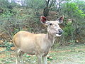 Female Sambar deer.jpg