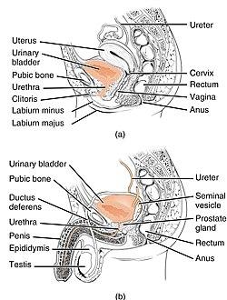 Female and Male Urethra.jpg