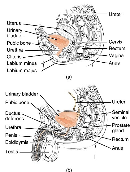 lower urinary tract