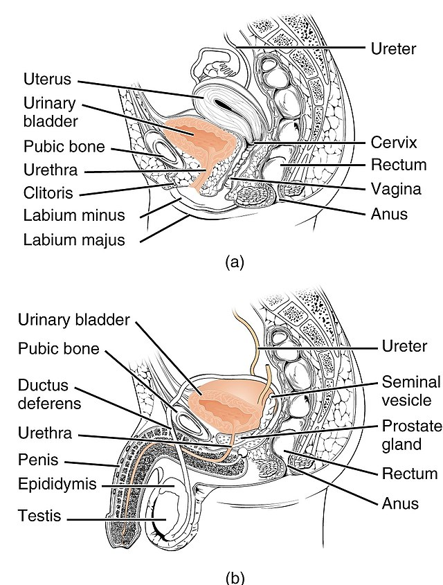 Urethra Wikiwand