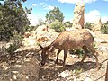 Female elk at Grand Canyon.jpg