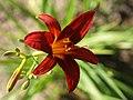 Fenceline Daylilies - 9275087083.jpg
