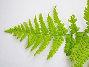 Fern sports - Typical asymmetric frond resulting from likely insect damage.
