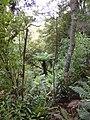Ferntree near lake wilkie - panoramio.jpg