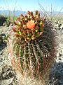 Ferocactus wislizeni (6541006057).jpg