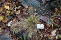 Festuca airoides - Botanischer Garten, Dresden, Germany - DSC08679.JPG