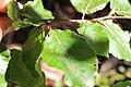 Feuille de Hêtre commun (Fagus sylvatica).jpg