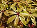 Feuilles de plantes au jardin Albert Kahn.JPG