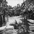 Fižol mlati s palico, Sabadini 1950.jpg