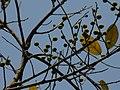 Ficus exasperata (2252397213).jpg