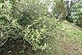 Ficus pumila 30zz.jpg