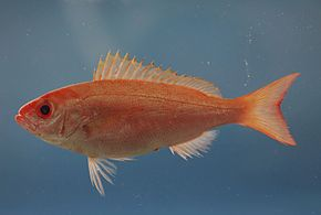 Description de l'image Fish4422 - Flickr - NOAA Photo Library.jpg.