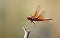 Flame skimmer, Ash Meadows National Wildlife Refuge (5745743439).jpg