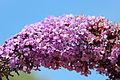Fleurs à Saint-Rémy-lès-Chevreuse 0003.jpg